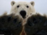 Фотографии любопытного медведя от Стивена Козловски