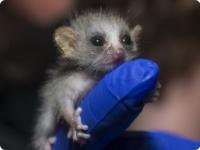 Серые мышиные лемуры из Duke Lemur Center
