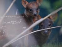 В зоопарке Честера родились крошечные пуду