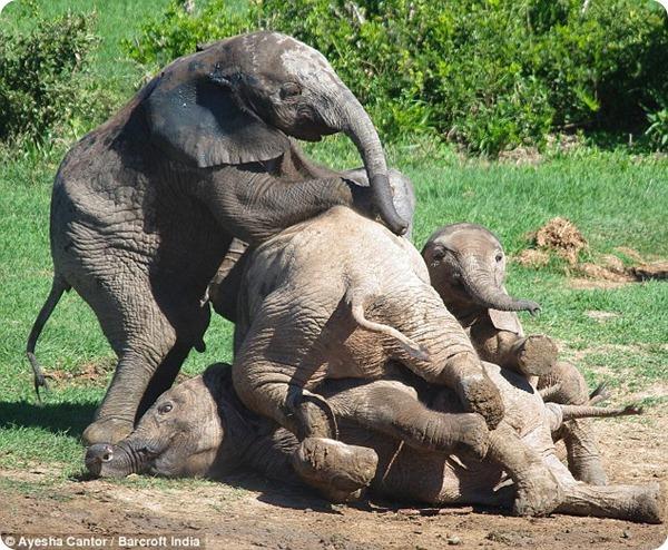 Бійка слоненят у Національному парку Еддо - все про тварин