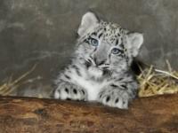 Снежный барс – гордость зоопарка Брукфилда