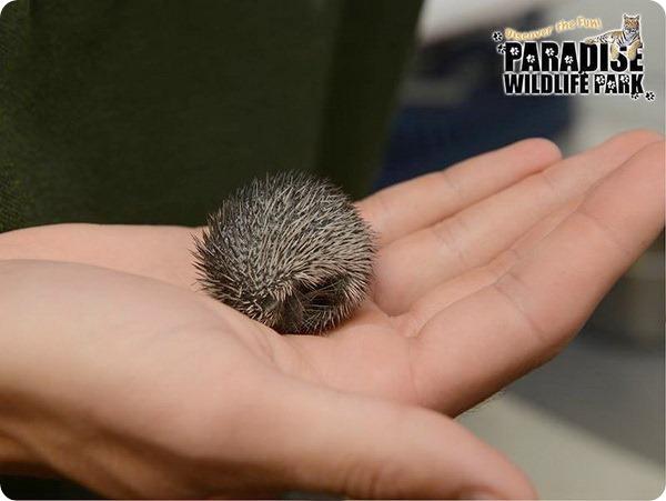 В зоопарке Британи родились детеныши тенрека