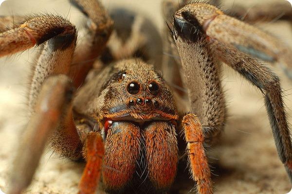 Хеиракантиум, или желтосумый паук (лат. Cheiracanthium)