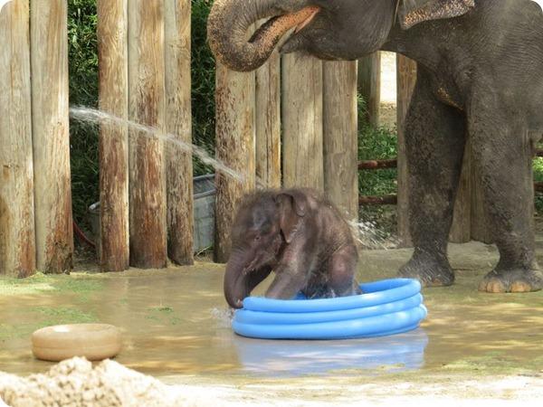 Маленький слоненок из зоопарка Fort Worth Zoo