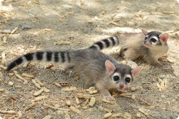 В зоопарке Калифорнии родились детеныши какомицли