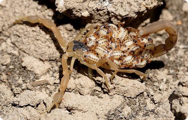 Полосатый скорпион Centruroides vittatus