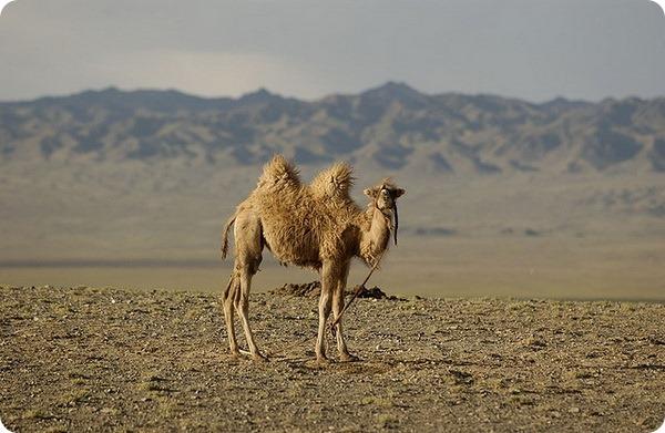 Двугорбые верблюды (лат. Camelus bactrianus)