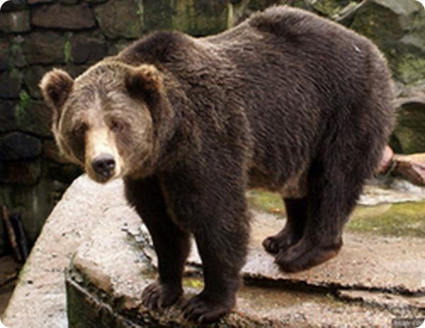 Медведь по кличке Угрюм покидает Москву