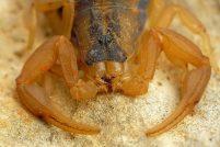 Полосатый скорпион