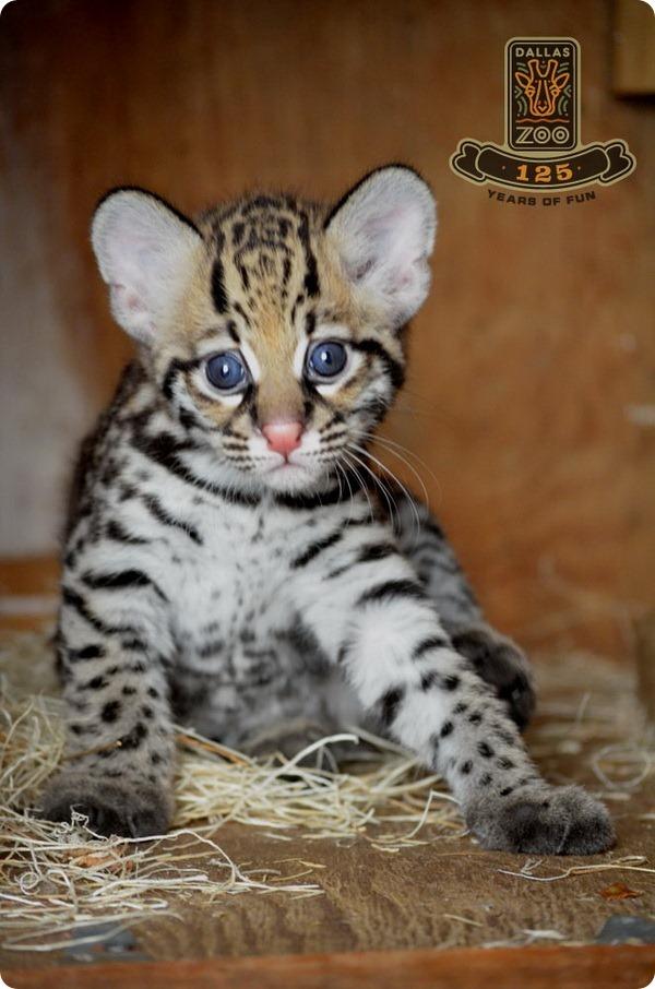 Зоопарк Далласа представил детеныша оцелота