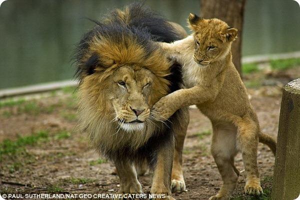 Львенок и его отец из Национального зоопарка США