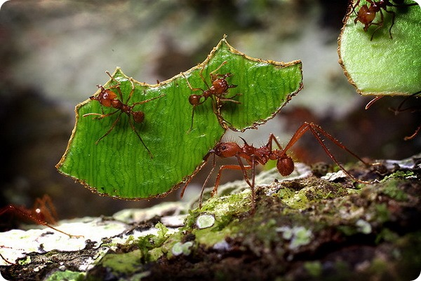 Муравьи (лат. Formicidae)