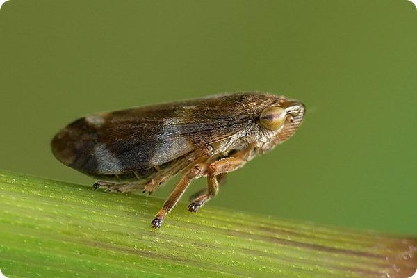 Слюнявица обыкновенная, или пенница слюнявая (лат. Philaenus spumarius)
