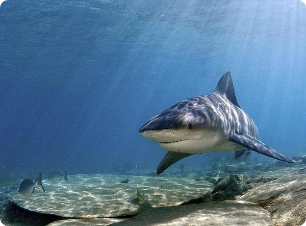 Акула-бык, или тупорылая акула (лат. Carcharhinus leucas)