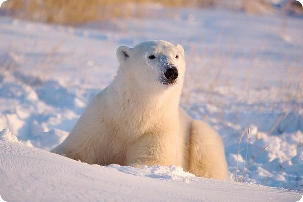 Белый медведь (лат. Ursus maritimus)