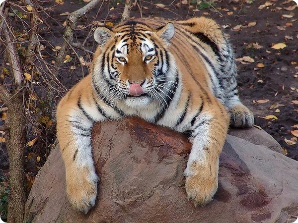 Амурский, или уссурийский тигр (лат. Panthera tigris altaica)