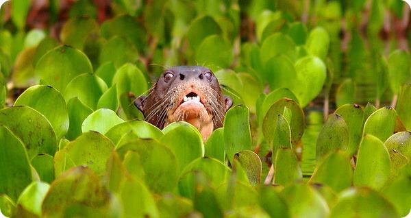 Бразильская или гигантская выдра (лат. Pteronura brasiliensis)