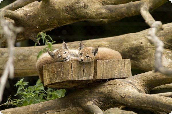 Рысята из зоопарка Whipsnade Zoo