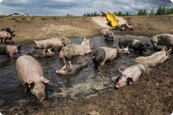 Горка для свинок