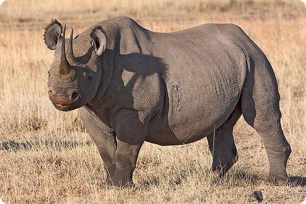 Черный носорог (лат. Rhinoceros bicornis)