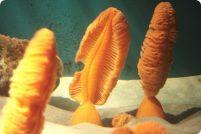 Оранжевые морские перья