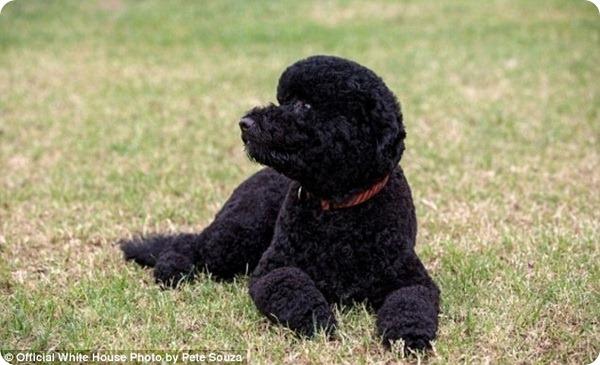 Новая собака Барака Обамы