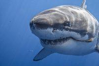 Самые опасные акулы