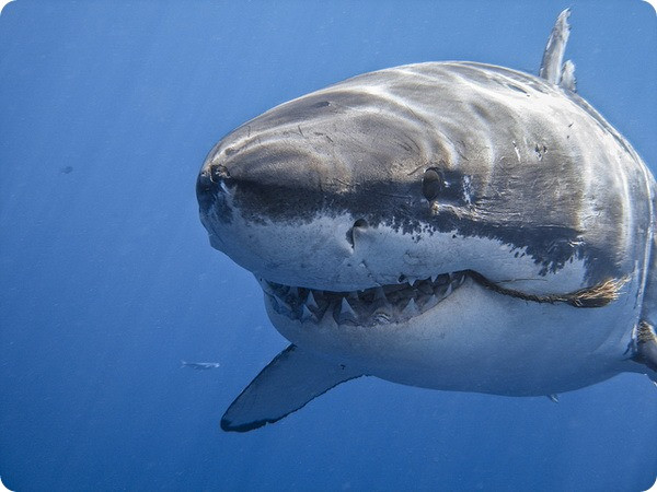 Большая белая акула, или кархародон (лат. Carcharodon carcharias)