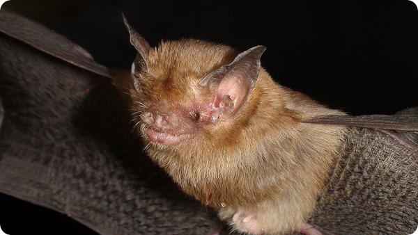 Свиноносая летучая мышь, или мышь-шмель (лат. Craseonycteris thonglongyai)