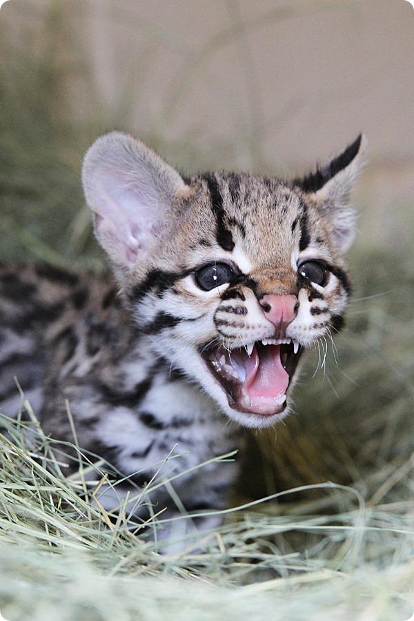 В зоопарке Кэмерон родился детеныш оцелота