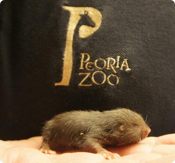 В зоопарке США родился детеныш пескороя