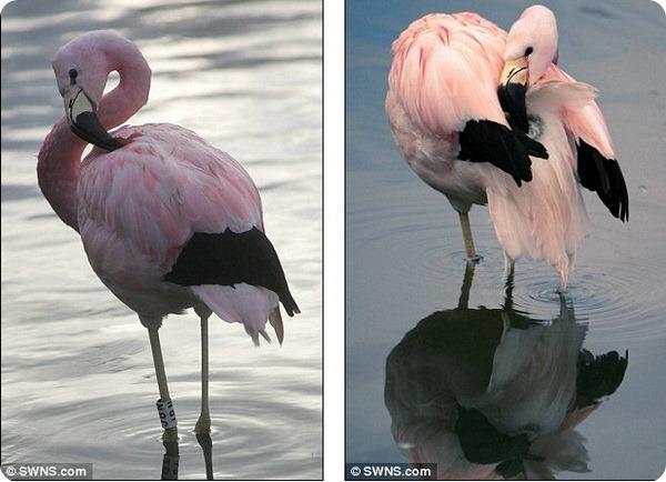 Плавающий фламинго