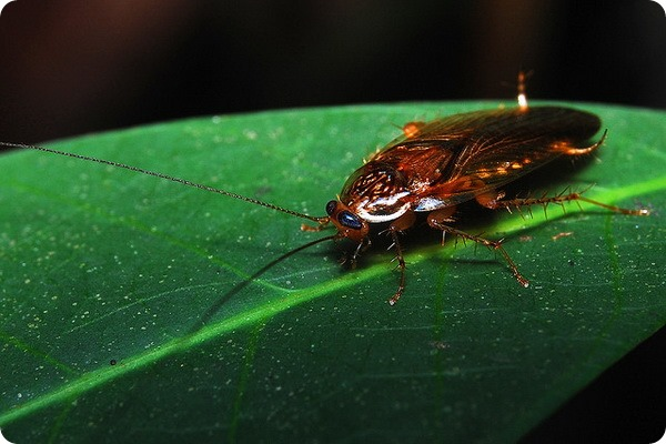 Тараканы (Blattoptera, или Blattodea)