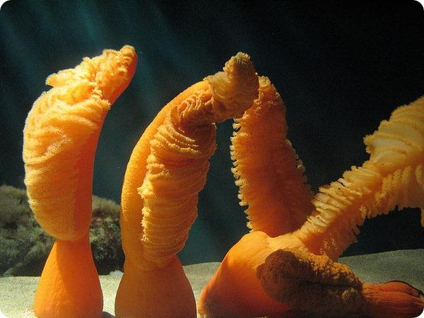 Оранжевые морские перья (лат. Ptilosarcus gurneyi)