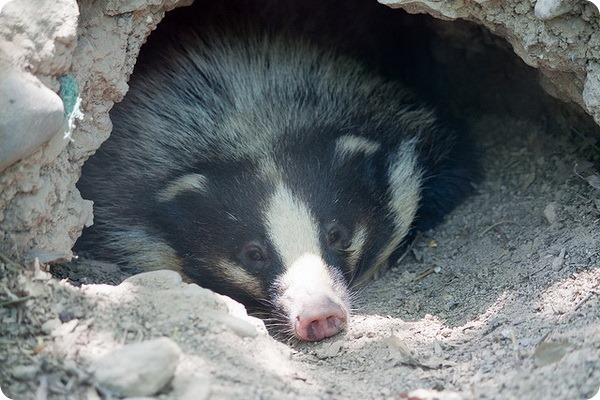 Теледу, или свиной барсук (лат. Arctonyx collaris)