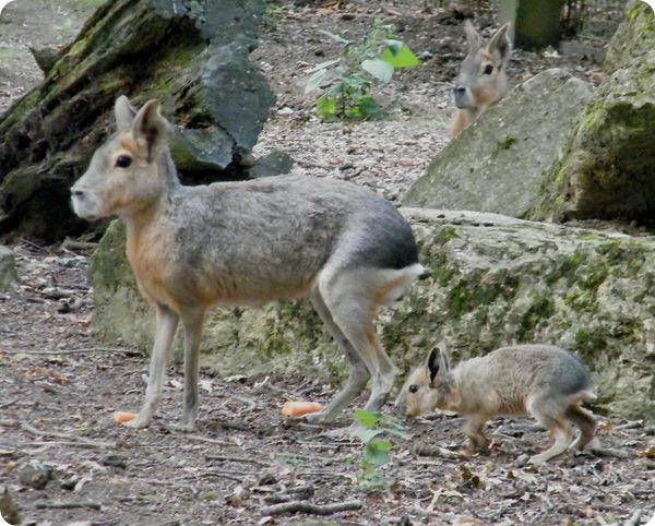 Детеныши мары из парка дикой природы Котсуолд