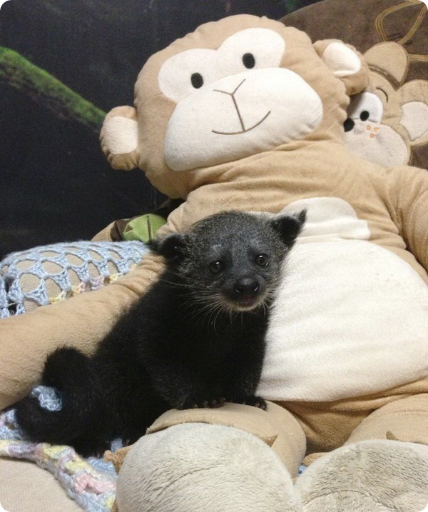 Детеныш бинтуронга из зоопарка Staten Island Zoo