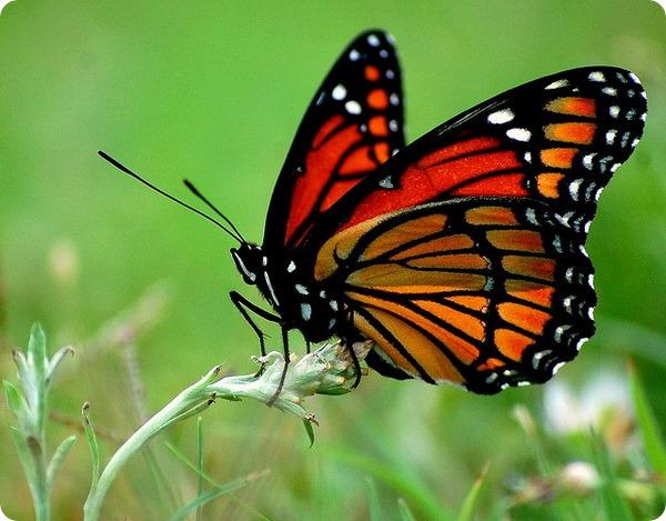 Миграция бабочек Монарх (лат. Danaus plexippus)
