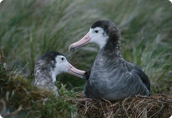 Амстердамский альбатрос (лат. Diomedea amsterdamensis)