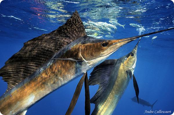 Рыба-парусник (лат. Istiophorus platypterus)