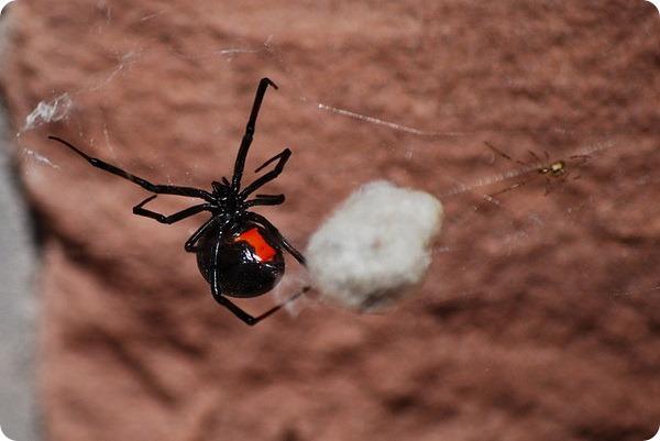 Черные вдовы (лат. Latrodectus mactans)