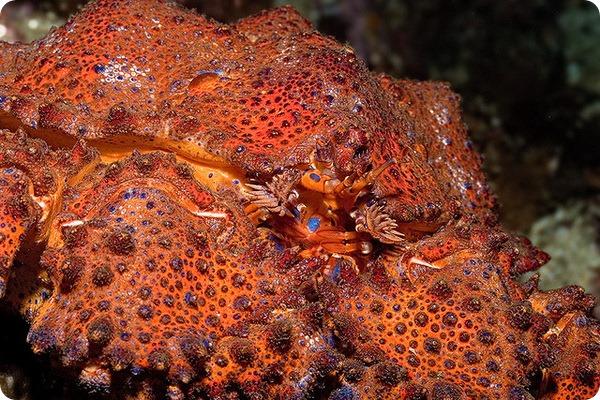 Крабовидный рак-отшельник Lopholithodes mandtii