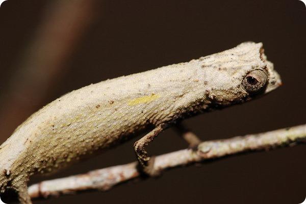 Самая маленькая ящерица в мире. Хамелеон малая брукезия (лат. Brookesia minima)