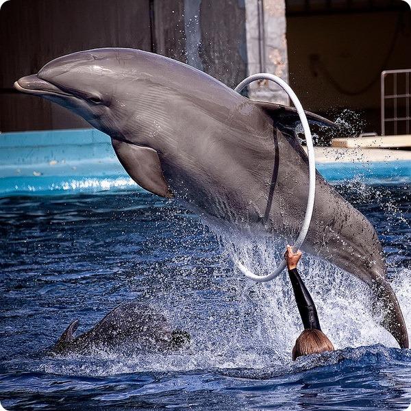 Большой дельфин, или афалина (лат. Tursiops truncatus)