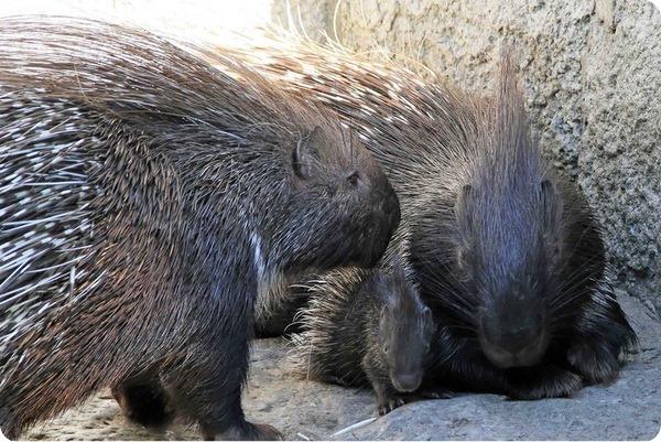 В зоопарке Берлина родился детеныш дикобраза