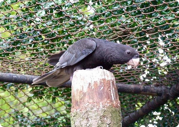 Большой попугай-ваза (лат Coracopsis vasa)