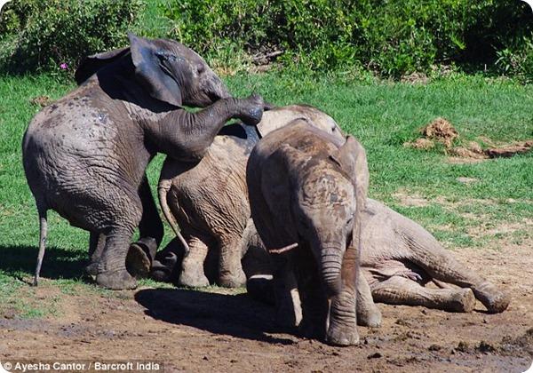 Потасовка слонят в Национальном парке Эддо