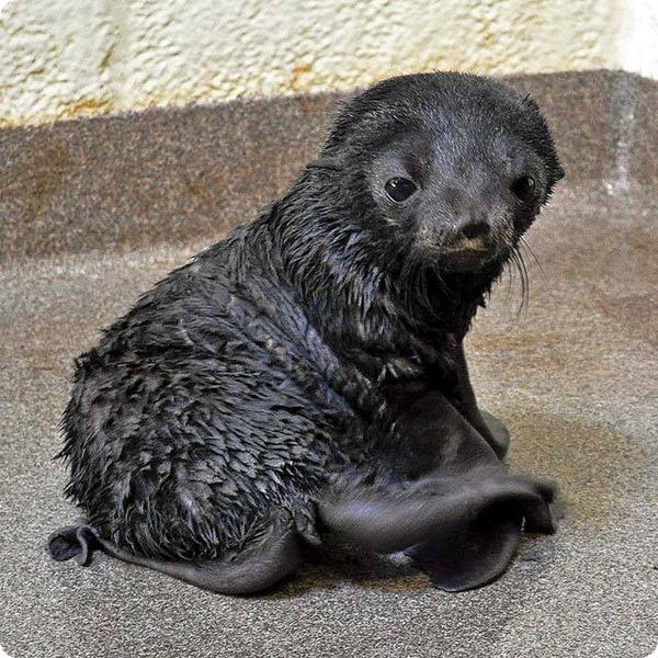 Детеныши морских котиков из Аквариума Новой Англии