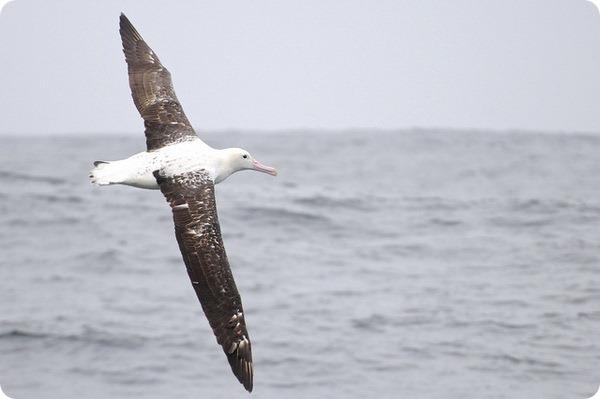 Южный королевский альбатрос (лат. Diomedea epomophora)