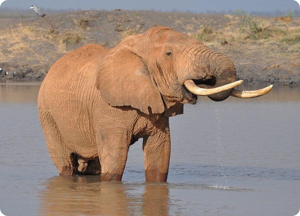 Африканский слон (лат. Loxodonta africana)